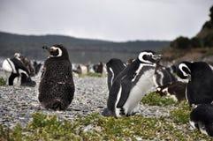 Colonia del pinguino - Ushuaia, Argentina Immagini Stock Libere da Diritti