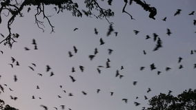 Colonia del pipistrello della frutta (volpe di volo) che vola al crepuscolo