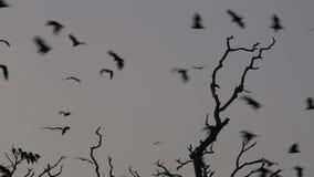 Colonia del pipistrello della frutta (volpe di volo) che vola al crepuscolo stock footage