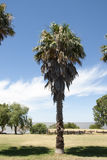 Colonia Del Sacramento - Palm Tree Royalty Free Stock Image