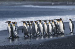 Colonia del sud BRITANNICA di Georgia Island di re Penguins che marcia sulla vista laterale della spiaggia Fotografia Stock