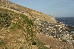 Colonia del tessuto felpato imperiale dell'isola della carcassa nelle Malvinas Fotografie Stock Libere da Diritti