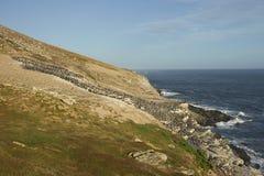 Colonia del tessuto felpato imperiale dell'isola della carcassa nelle Malvinas Fotografia Stock