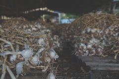 Colonia dell'aglio Immagini Stock Libere da Diritti