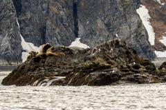 Colonia dell'eumetopias jubatus dei leoni marini sulla roccia, Russia, Kamchatka, capo vicino Kekurny, baia russa fotografie stock libere da diritti
