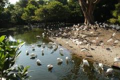 Colonia dell'ibis Fotografie Stock