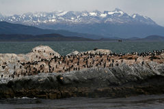 Colonia dell'otaria della Manica del cane da lepre, Tierra del Fuego Fotografia Stock