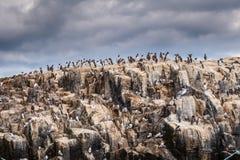Colonia dell'uccello marino dell'isola di Farne Fotografia Stock Libera da Diritti