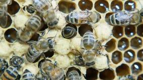 Colonia delle api che lavorano in un alveare video d archivio