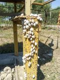 colonia delle lumache su un tubo di gas del ferro Le lumache prendono il sole al sole Accoppiamento delle lumache Fotografie Stock