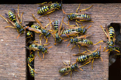 Colonia delle vespe Immagine Stock