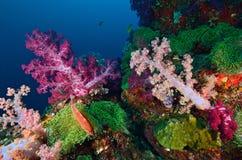Colonia di corallo molle, isola di Similan immagine stock