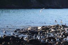 Colonia di corvi anellata della guarnizione sulla scogliera rocciosa dalla penisola di Kamchatka fotografia stock libera da diritti