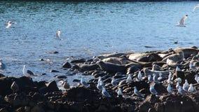 Colonia di corvi anellata della guarnizione sulla scogliera rocciosa dalla penisola di Kamchatka immagine stock