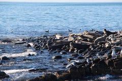 Colonia di corvi anellata della guarnizione sulla scogliera rocciosa dalla penisola di Kamchatka fotografia stock