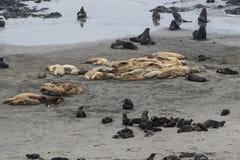 Colonia di corvi dei leoni marini di Steller e delle guarnizioni di pelliccia nordiche sulla spiaggia Fotografia Stock Libera da Diritti