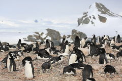Colonia di corvi del pinguino di sottogola in Antartide Immagine Stock Libera da Diritti