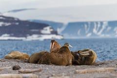 Colonia di corvi del tricheco sulla riva dell'arcipelago delle Svalbard del fiordo Fotografia Stock Libera da Diritti