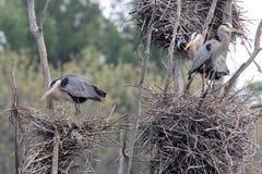 Colonia di corvi dell'airone Fotografia Stock Libera da Diritti