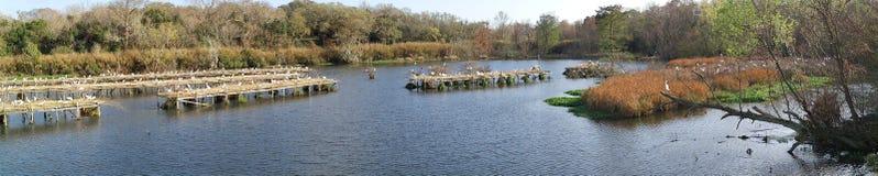 Colonia di corvi dell'egretta - panoramica fotografia stock