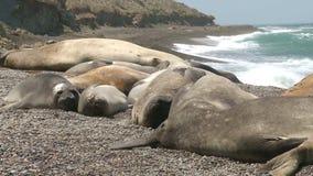 Colonia di corvi della guarnizione sulla linea costiera Il sud dell'Argentina video d archivio