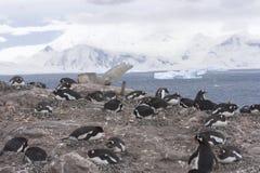 Colonia di corvi di Neko Harbor con l'ancora della nave Immagine Stock Libera da Diritti
