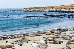 Colonia di foche dell'elefante Immagini Stock Libere da Diritti