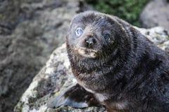 Colonia di foche della pelliccia della Nuova Zelanda vicino a Dunedin sulla penisola di Otago fotografia stock