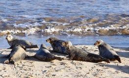 Colonia di foche grigia sulla spiaggia amante dei cavalli Immagine Stock
