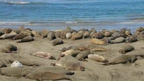 Colonia di foche nordica dell'elefante stock footage