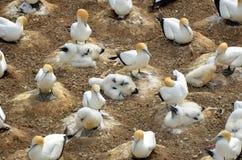 Colonia di Gannet con i pulcini Fotografia Stock