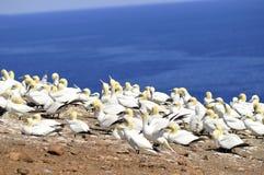 Colonia di Gannets nordico Fotografia Stock