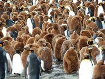 Colonia di re Penguin immagine stock libera da diritti