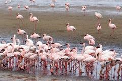 Colonia di Rosy Flamingo nella baia Namibia di Walvis Fotografie Stock Libere da Diritti