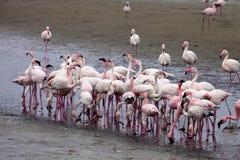 Colonia e Rosa Flamingo del fenicottero minore in Walvisbaai, Namibia Immagini Stock Libere da Diritti