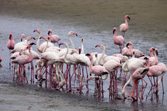 Colonia e Rosa Flamingo del fenicottero minore in Walvisbaai, Namibia Fotografie Stock Libere da Diritti