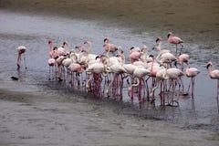Colonia e Rosa Flamingo del fenicottero minore in Walvisbaai, Namibia Fotografia Stock