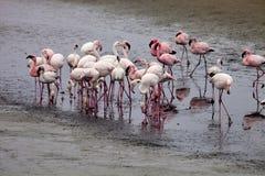 Colonia e Rosa Flamingo del fenicottero minore in Walvisbaai, Namibia Immagini Stock