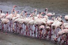 Colonia e Rosa Flamingo del fenicottero minore in Walvisbaai, Namibia Immagine Stock