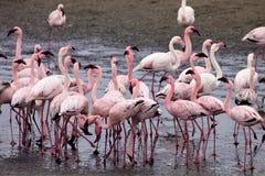 Colonia e Rosa Flamingo del fenicottero minore in Walvisbaai, Namibia Immagine Stock Libera da Diritti