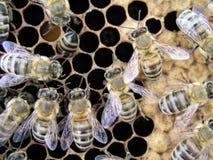 Colonia en la acción en el marco con una cría sellada, polen de la abeja Foto de archivo libre de regalías