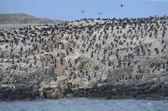 Colonia en una isla en Ushuaia en el canal del beagle, Tierra Del Fuego, la Argentina, Suramérica del cormorán Imágenes de archivo libres de regalías