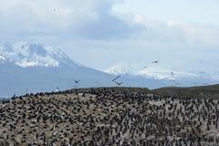 Colonia en una isla en Ushuaia en el canal del beagle, Tierra Del Fuego, la Argentina, Suramérica del cormorán Imagenes de archivo