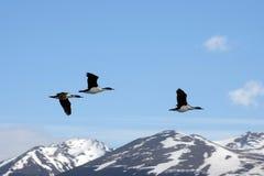 Colonia en una isla en Ushuaia en el canal del beagle, Tierra Del Fuego, la Argentina, Suramérica del cormorán Fotos de archivo libres de regalías