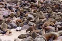 Colonia enorme del lobo marino de Brown - leones marinos en Namibia Foto de archivo libre de regalías