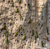 Colonia grande de los Abeja-comedores en sus madrigueras en una pared de la arcilla África uganda Imagen de archivo