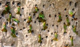 Colonia grande de los Abeja-comedores en sus madrigueras en una pared de la arcilla África uganda Imágenes de archivo libres de regalías