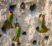 Colonia grande de los Abeja-comedores en sus madrigueras en una pared de la arcilla África uganda Fotos de archivo