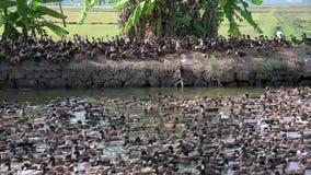 Colonia grande de patos almacen de metraje de vídeo