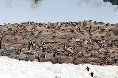 Colonia grande del pingüino de Gentoo al lado de un glaciar antártico fotos de archivo libres de regalías